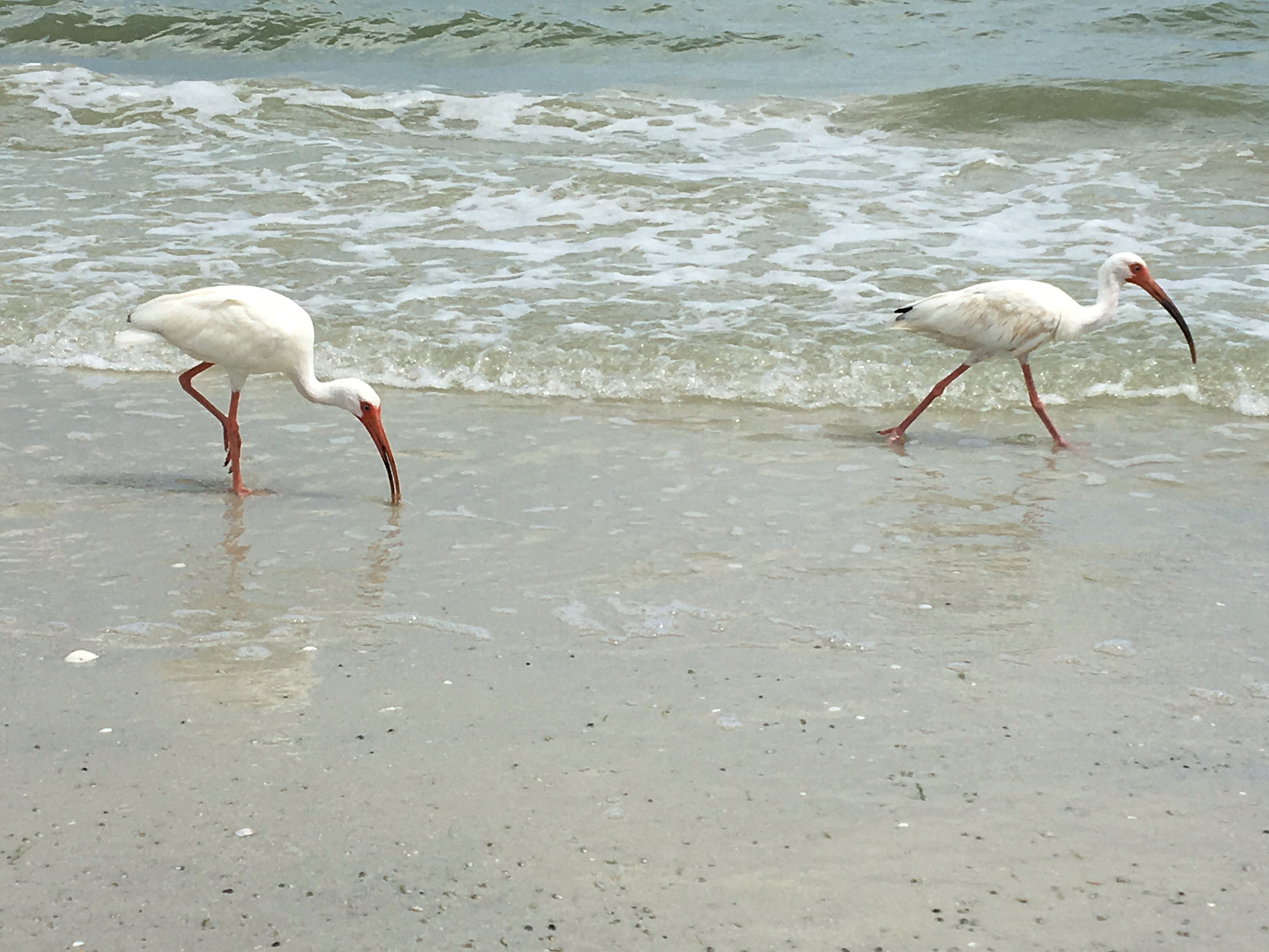 Sanibel Birds at Periwinkle Cottages